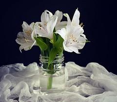 White Peruvian Lilies (Through Serena's Lens) Tags: 7dwf flora whiteperuvianlilies flower bottle blackbackground tabletop stilllife white cheesecloth natural light