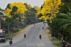 (lantaw.com) Tags: bukidnon malaybalay philippines trees araguaney yellow flowers