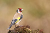 Goldfinch (Dougie Edmond) Tags: ringford scotland unitedkingdom gb bird birds finch mature wildlife