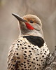 Northern Flicker (Colaptes auratus) Portrait (jlcummins - Washington State) Tags: woodpecker bird yakimacounty washingtonstate northernflicker