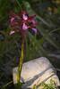 """SDIM7036- sd1 - """"Anacamptis - Papilionacea""""- agfa solagon 80mm f4.5 (ciro.pane) Tags: sigma sd1 merrill foveon orchidea selvatica anacamptis papilionacea ultimo raggio luce promontorio punta campanella italia italy italien italie agfa solagon 80mm f45 enlarging lens software hasselbladphocus colori contributo sfocato bokeh"""