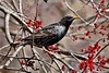 Starling in a Maple Tree (Anne Ahearne) Tags: wild bird animal nature wildlife europeanstarling beautiful maple blossoms tree starling