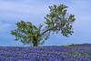 Bluebonnets on a Blustery Day_MG_0194 (918monty) Tags: bluebonnets blue blueflowers bluewildflowers texaswildflowers statefloweroftexas ennistexas lakebardwellennistexas bluesky scragglytree windblown