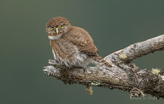 ND5_2275 NPO Broken Limb (Wayne Duke 76) Tags: owls raptor northernpygmyowl brokenbranch feathers