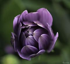 Comienza la primavera... (Carmen Pla) Tags: flor morado naturalezapetalos primavera