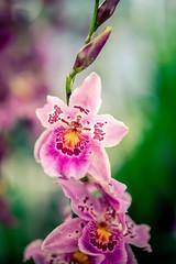 Stacked (rg69olds) Tags: 03252018 35mm 35mmf14dghsm 5d 5dmk4 canoneos5dmarkiv canondigitalcamera lauritzengardens nebraska sigma35mmf14artdghsm canon flower omaha orchidshow plant sigma purple plants flowers indoor 35mmf14dghsm|a