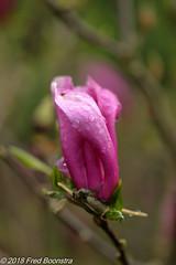 """After a rainshower during the night...."" (Fred / Canon 70D) Tags: eefde ef100mmf28lmacroisusm canon70d canoneos canon magnolia garden closeup"