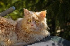 You want the deckchair ? (FocusPocus Photography) Tags: linus katze kater cat chat gato tier haustier pet frühling spring liegestuhl deckchair animal