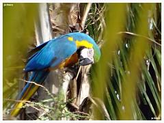 Arara / Macaw (Ju Emery) Tags: juemery arara macaw natureza nature ave bird passaro araracaninde caninde beleza belezabrasileira brasilia bsb brasil brazil voo fly free freedom liberdade