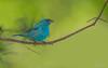 Indigo bunting (Male) (salmoteb@rogers.com) Tags: bird wild outdoor nature wildlife indigo bunting male songbird perch ontario canada