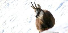 Chamois (fr) - Rupicabra rupicabra (Linnaeus, 1758) - Gämse (de) - Chamois (en) (patrick68110) Tags: herbivore neige chaume cornes