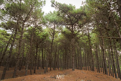 Into the woods (Mariano Colombotto) Tags: pinamar argentina bosque trees pines pinos arboles ngc woods forest travel nature naturaleza nikon photographer photography