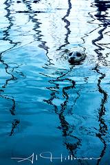 Seal_15-1-Edit-F (Al Hillman) Tags: wildlife seal harbourseal britishcolumbia canada bc victoria watelife oceanlife ocean portrait vertical water blue reflection waves posing nature wild