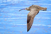 Whimbrel Taking Off (halladaybill) Tags: crystalcovestatepark flying whimbrel shorebird flight seaandsageaudubonsociety auduboncalifornia cornelllabofornithology orangecounty california nikond850 nikkor80400zoomlens