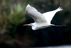grande aigrette ( Casmerodius albus ) Brech 180414c2 (papé alain) Tags: oiseaux échassiers ardéidés grandeaigrette casmerodiusalbus greategret brech morbihan bretagne france
