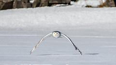 DSC_4144 (Pixelpics1) Tags: snowyowl bird owl