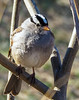 White-crowned Sparrow (Songbill) Tags: riverlandsmigratorybirdsanctuary riverlands zonotrichialeucophrys whitethroatedsparrow