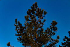 Sunset Pine (katyearley) Tags: summer windy 55mm canonrebelt6 sky blue tree sunset pine green orange