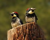 Acorn Woodpeckers Waiting for Delivery (Ethan.Winning) Tags: acorn woodpeckers oak woodlands oaks california