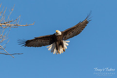Female Bald Eagle returns to the nest - 3 of 29