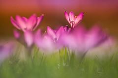 Frühlingsfarben (SonjaS.) Tags: bokeh flowers spring frühling sonne sun durchleuchtet happy detail dreams moment botanischergarten krokus purple pink lila makro 100mmcanon canon6d
