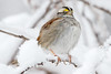 White-Throated Sparrow in the Snow - 2nd Day of Spring -2 (Scott Alan McClurg) Tags: emberizidae passeri passeroidea zalbicollis zonotrichia animal back backyard bird delaware life nature naturephotography neighborhood perch perching portrait snow snowing snowstorm songbird sparrow spring suburbs whitethroated whitethroatedsparrow wild wildlife winter
