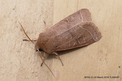 Common Quaker Orthosia cerasi XLS FB P1270523 (Pitzy's Pyx, keep snapping away!.) Tags: gardenwildlife garden homegarden mothtrapping moths lumixfz1000 commonquakerorthosiacerasi