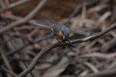 Leaden Flycatcher female (Luke6876) Tags: leadenflycatcher flycatcher bird animal wildlife australianwildlife