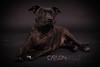Staffordshire Bullterrier (carlosvallefotografia) Tags: perro stafford staffordshire bullterrier dog pets pet mascotas mascota nikon reportaje sesion book shoot pic carlosvallefotografia