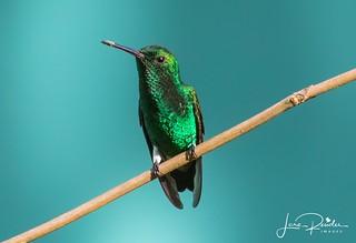 Copper-rumped Hummingbird1-1