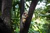 Mico / Little Monkeys (Filipe Saddi) Tags: mico macaco monkey little brasil brazil green blue red whit white woods trees forest mata floresta