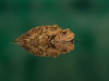 Mating Toads Reflection (The-Hawk) Tags: mating toads water reflection nikon d800 amphibian