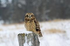 Lifer - Short-eared Owl / Hibou des marais / Asio flammeus (ricketdi) Tags: bird shortearedowl hiboudesmarais asioflammeus coth5 ngc sunrays5 npc naturethroughthelens
