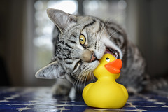 hunter and prey (le cabri) Tags: cat hunter hunterandprey bite wild rubberduck yellow feline duck tabbycat domesticcat cute animal beauty playful playing tabby fun striped indoors pets toy