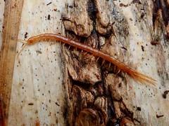 Cryptops (lloyd177) Tags: centipede dorset arne rspb