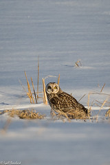 Short-eared Owl (Lyall Bouchard) Tags: bird novascotia shortearedowl grandpré canada ca
