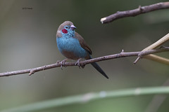 Red-Cheeked Cordonbleu (featherweight2009) Tags: redcheekedcordonbleu uraeginthusbengalus cordonbleus finches seedeaters songbirds birds africa