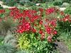 (sftrajan) Tags: red flowers garden spring primavera printemps rojo rouge botanicalgarden sanfranciscobotanicalgarden strybingarboretum goldengatepark jardinbotanique jardimbotânico jardínbotánico botanischergarten ботаническийсад botanicgarden frühling