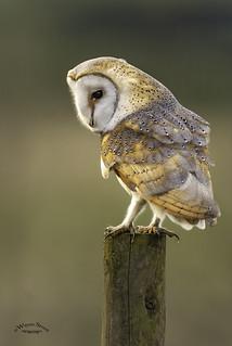 The Barn Owl .. Tyto Alba.