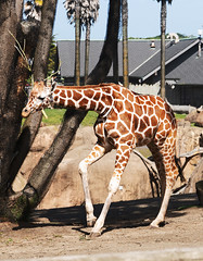 Ingrid  is 2 years old (charlottes flowers) Tags: zoo sanfranciscozoo giraffe ingrid