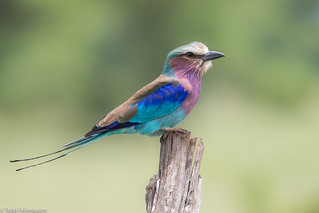 CA3I5700-Lilac-breasted Roller