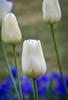 Tulips of white (Pejasar) Tags: white tulips blooms blossoms garvanwoodlandgardens hotsprings arkansas