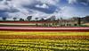 La saison des tulipes en Provence (mary maa) Tags: tulipe provence sonya7 55f18 ciel