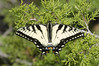 Eastern Tiger Swallowtail, Papilio glaucus, basking (Bryan E. Reynolds) Tags: chickasawnationalrecreationarea easterntigerswallowtail juniperusvirginiana oklahoma papilioglaucus basking easternredcedar