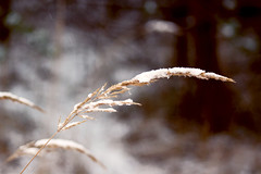 North nature (izzistudio) Tags: buy photography print etsy shop izzistudio snow bent nature nordic north baltic forest macro canon 600d