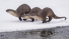 On the Run (Scott Joshua Dere) Tags: otter yellowstone winter otterfamily