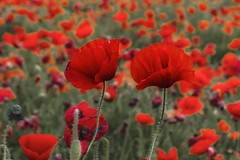 Aviat arribaran, _DSC7346 (Francesc //*//) Tags: flor piparapip amapola amapolasilvestre rosella flowers fleurs fleur vermell rojo red rouge macro macrofotografia natura naturaleza nature