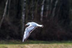 Le vol ! (musette thierry) Tags: jaune bird oiseau capture animaux animalier animal musette thierry nikon vole d800 28300mm belgique