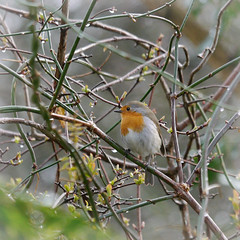 A Robin in the rain 1/3 (jump for joy2010) Tags: catchup 2018 winter motherearth england uk somerset nature birds mygarden march robin rain