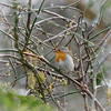 A Robin in the rain 1/3 (jump for joy2010) Tags: catchup 2018 winter motherearth england uk somerset nature birds mygarden march robin rain